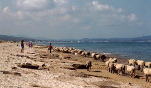 Salz leckende Schafe
