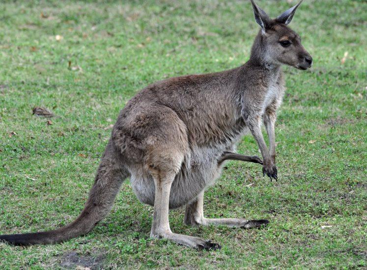 Graues Riesenkänguru mit Nachwuchs