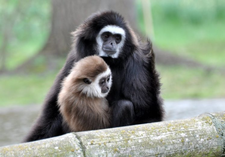 Gibbon mit Baby