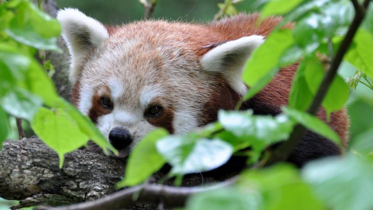 Katzenbär - Roter Panda