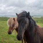 Isländer Pony