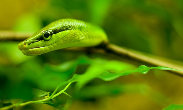 Grüne Baumnatter
